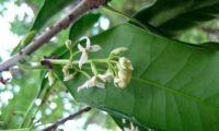 ramalhete de flores de pau‑branco, branqueiro - Picconia excelsa
