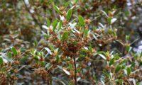 lentisco, aderno-de-folhas-estreitas - Phillyrea angustifolia (10)
