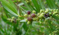 lentisco, aderno-de-folhas-estreitas - Phillyrea angustifolia (11)
