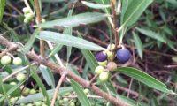 lentisco, aderno-de-folhas-estreitas - Phillyrea angustifolia (12)