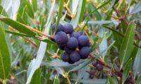 lentisco, aderno-de-folhas-estreitas - Phillyrea angustifolia (15)