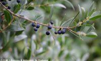 lentisco, aderno-de-folhas-estreitas - Phillyrea angustifolia (16)