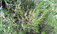lentisco, aderno-de-folhas-estreitas - Phillyrea angustifolia (18)
