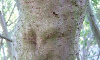 lentisco, aderno-de-folhas-estreitas - Phillyrea angustifolia (20)