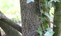 lentisco, aderno-de-folhas-estreitas - Phillyrea angustifolia (20.1)