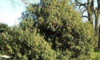 lentisco, aderno-de-folhas-estreitas - Phillyrea angustifolia (21)