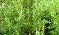 lentisco, aderno-de-folhas-estreitas - Phillyrea angustifolia (4)