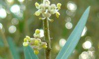 lentisco, aderno-de-folhas-estreitas - Phillyrea angustifolia (4.1)