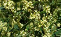 lentisco, aderno-de-folhas-estreitas - Phillyrea angustifolia (7)
