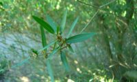 lentisco, aderno-de-folhas-estreitas - Phillyrea angustifolia (8)