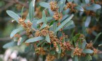 lentisco, aderno-de-folhas-estreitas - Phillyrea angustifolia (9)
