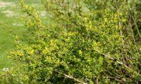 jasmineiro-do-campo - Jasminum fruticans (10)