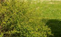 jasmineiro-do-campo - Jasminum fruticans (11)