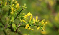 jasmineiro-do-campo - Jasminum fruticans (2)