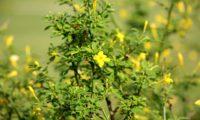 jasmineiro-do-campo - Jasminum fruticans (5)