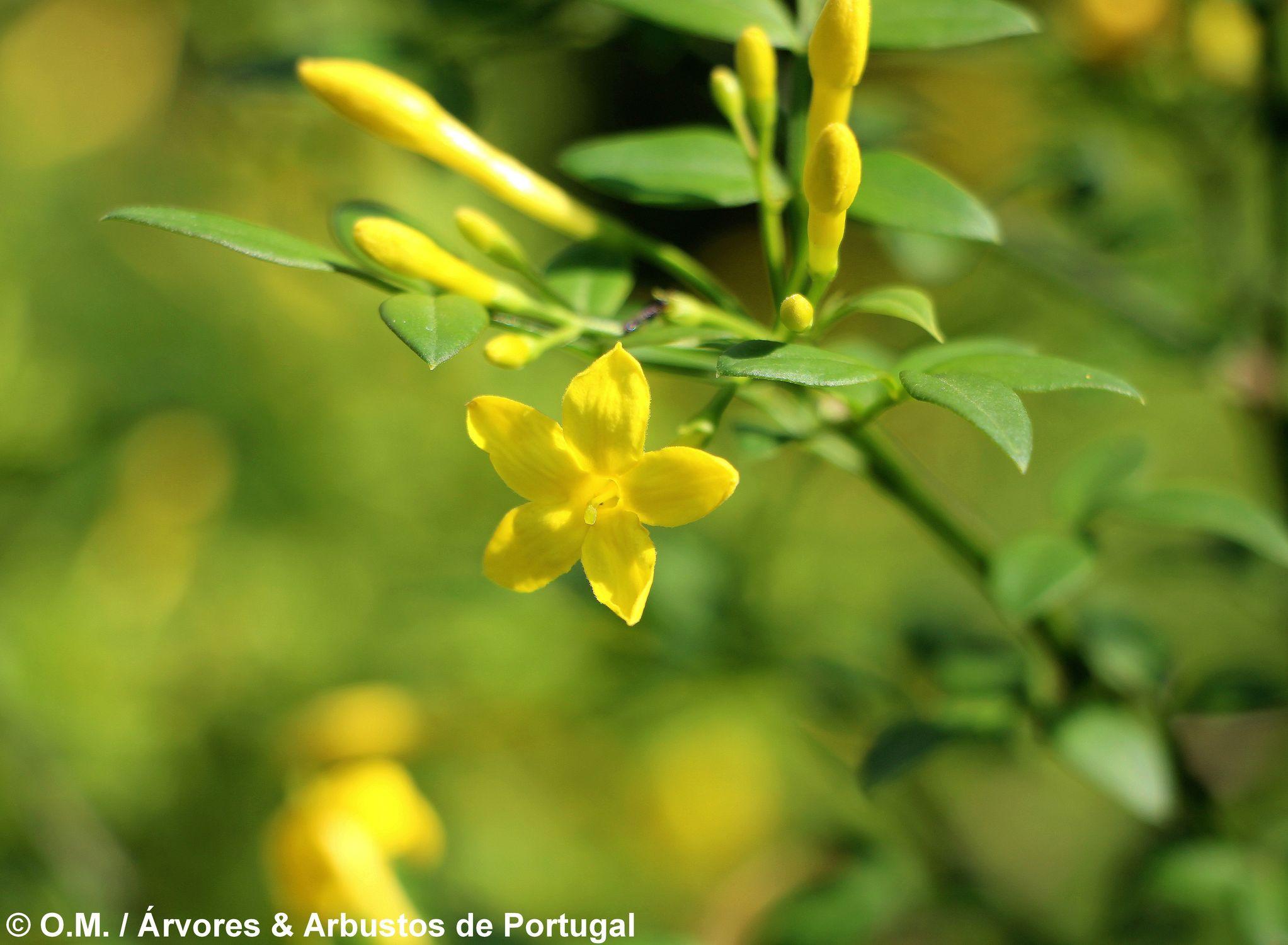 jasmineiro-do-campo - Jasminum fruticans (6)