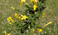 jasmineiro-do-campo - Jasminum fruticans (7)