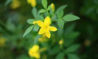 jasmineiro-do-campo - Jasminum fruticans (9)