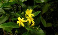 ramalhete de três flores amarelo intenso, cada com seis pétalas e sete botões de jasmineiro-amarelo, Jasminum odoratissimum