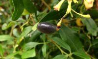 fruto elipsóide de jasmineiro-amarelo, Jasminum odoratissimum, maduro, de cor negra com um envoltório translúcido e brilhante.