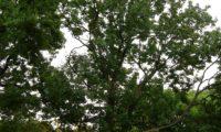 hábito de um freixo-europeu (Fraxinus excelsior ), de copa ovalada, folhagem pouco densa, ramos ascendentes e pouco numerosos. Este aspecto é específico às àrvores de planície.