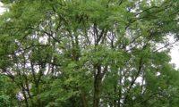 outra imagem de hábito do freixo-europeu (Fraxinus excelsior ), de copa aberta, folhagem pouco densa, ramos muito ascendentes e pouco numerosos. Este aspecto é específico às àrvores de planície.