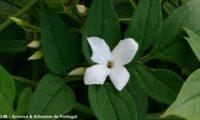 pormenor de flor de jasmineiro-galego, com 4 pétalas muito brancas, tendo em segundo plano os folíolos da folha, nos quais se vêm as nervuras secundárias e a mediana em saliência. Por detrás da folha aparecem 5 botões com se procurassem a luz. jasmim-branco, jasmim - Jasminum officinalis