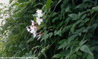ramalhete de flores e de botões de jasmineiro-galego, rodeado pela folhagem verde mate das lianas que tombam du muro. Jasmim-branco - Jasminum officinalis