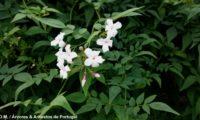 ramalhete de flores com 4 ou 5 pétalas e botões de jasmineiro-galego, enquadrado no verde-escuro mate das folhas compostas do jasmim-branco, jasmim - Jasminum officinalis