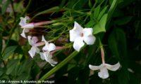 flores muito brancas e botões avermelhados de jasmineiro-galego, jasmim-branco, jasmim - Jasminum officinalis