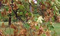 dissâmaras, aspecto parcial, bordo - Acer pseudoplatanus