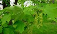 aspecto folhas do bordo - Acer pseudoplatanus