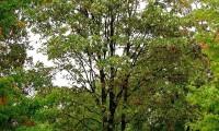 hábito do bordo - Acer pseudoplatanus
