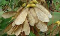 dissâmaras do bordo - Acer pseudoplatanus
