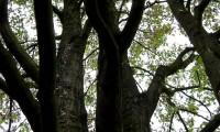 pernadas do bordo - Acer pseudoplatanus