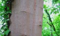 ritidoma de jovem bordo - Acer pseudoplatanus