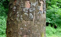 ritidoma adulto do bordo - Acer pseudoplatanus