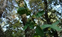 frutos do buxo - Buxus sempervirens