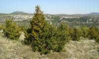 hábito do buxo no meio natural - Buxus sempervirens
