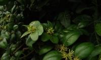 flores do buxo - Buxus sempervirens
