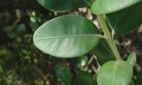 página superior do buxo - Buxus sempervirens