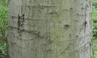 ritidoma do lódão-bastardo - Celtis australis