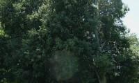 hábito do lódão-bastardo - Celtis australis