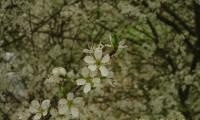 flores do abrunheiro-bravo – Prunus spinosa