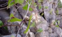flores de salsaparrilha - Smilax aspera