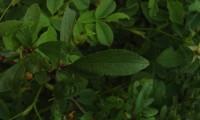 página superior do abrunheiro-bravo – Prunus spinosa