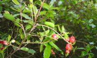 galhas vermelhas do carrasco – Quercus coccifera