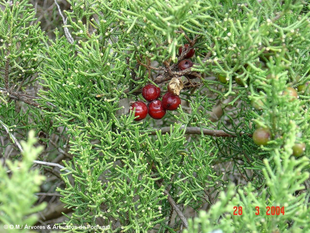 sabina-da-praia, gálbulas maduras (frutos) – Juniperus turbinata subsp. turbinata
