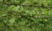 drupas imaturas do abrunheiro-bravo – Prunus spinosa