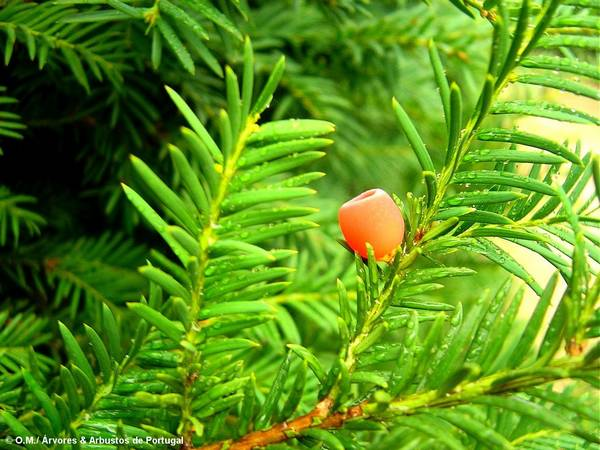 arilo maduro, teixo – Taxus baccata